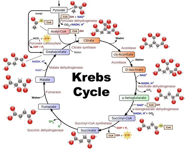 krebscycle.jpg